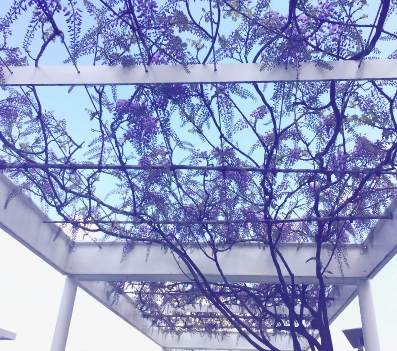 藤棚に花の日記イメージ写真