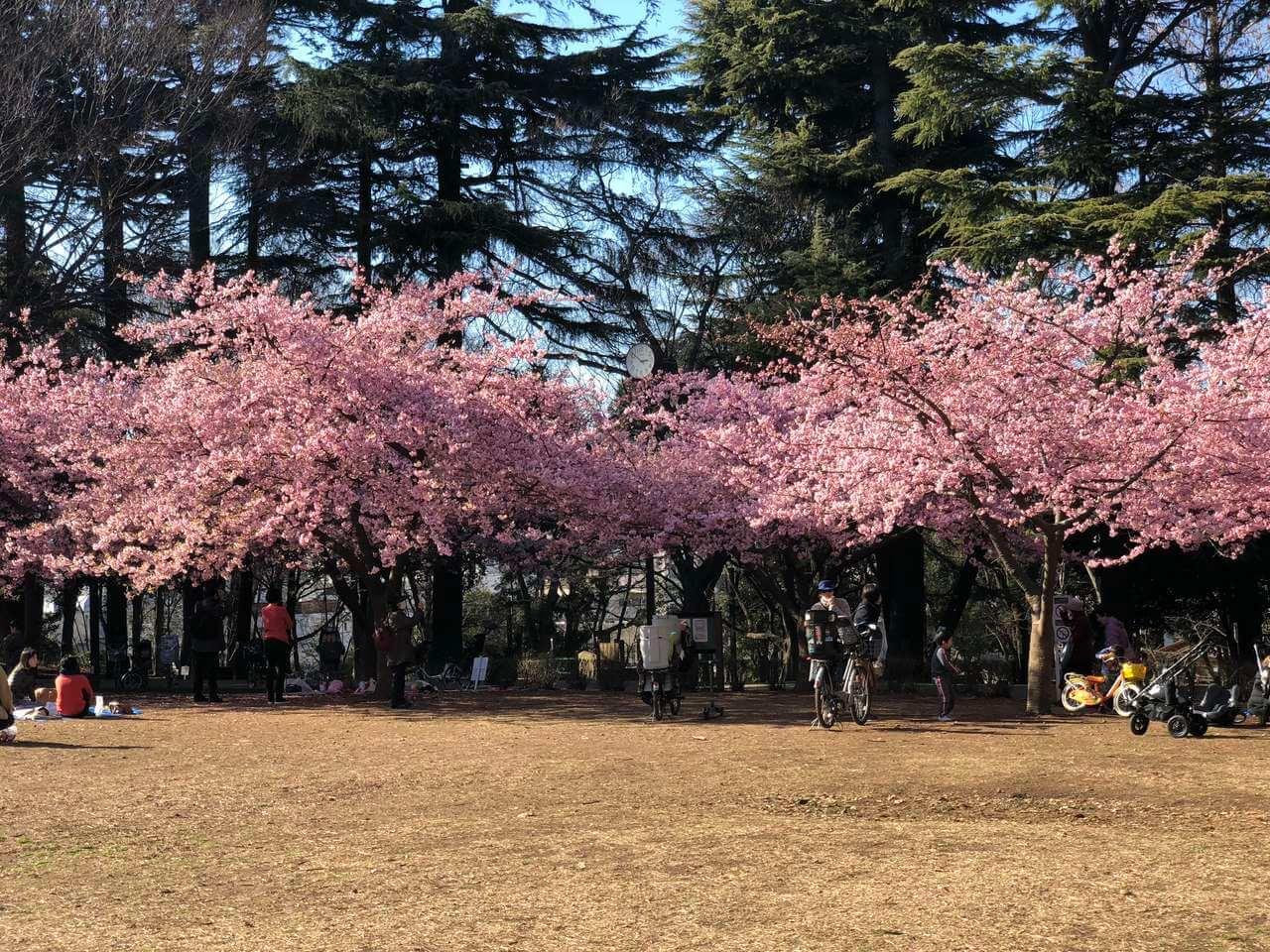 林試の森公園の河津桜と野生のインコたちのブログ画像