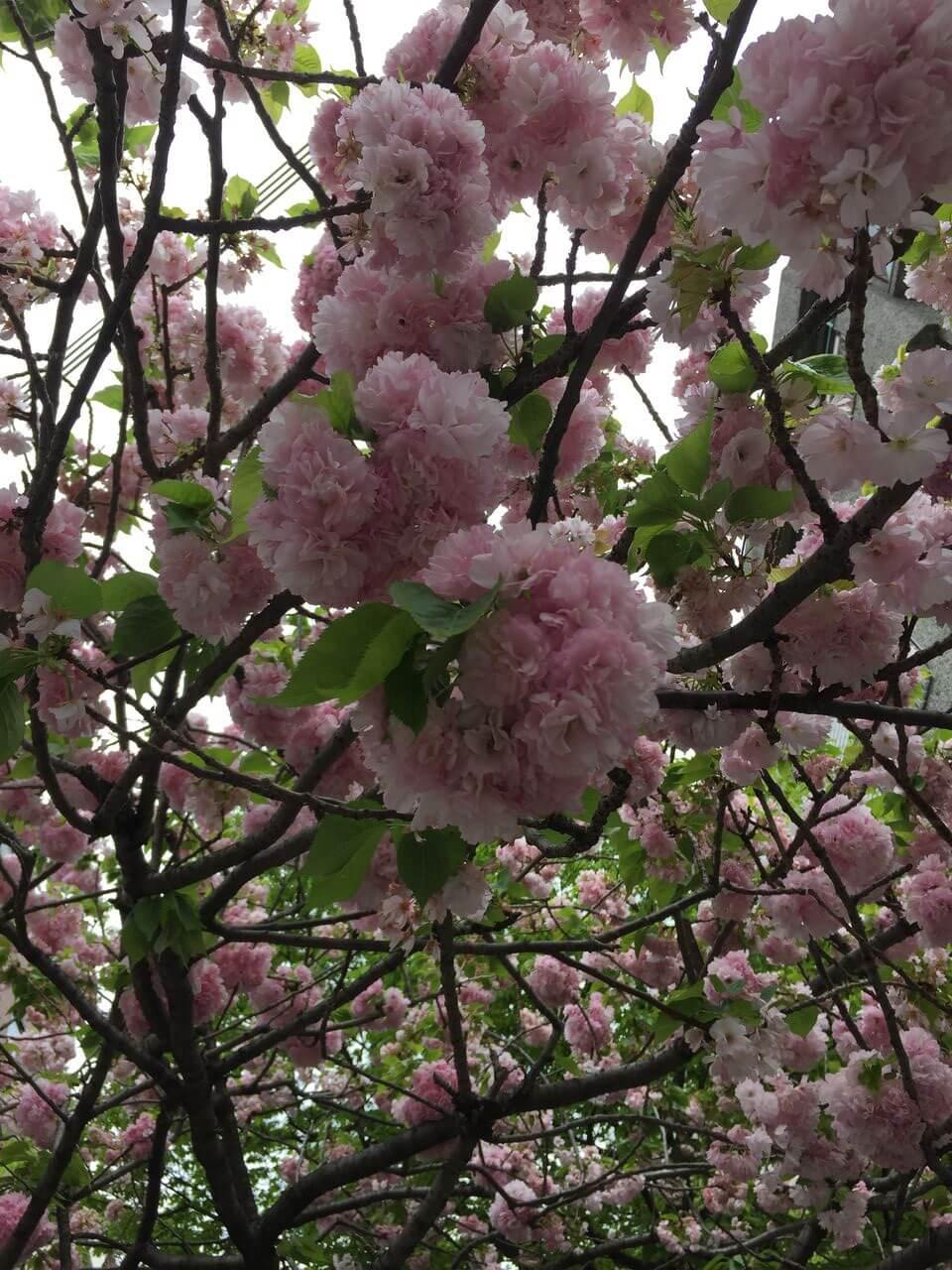 八重桜のブログ画像