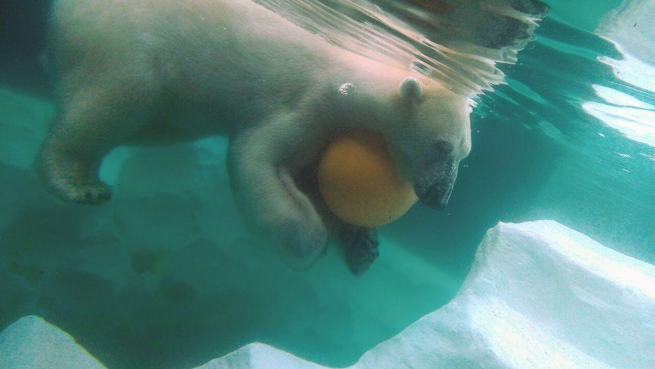 泳ぐシロクマくんのブログ画像